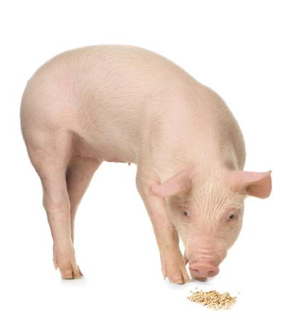 slide-pig